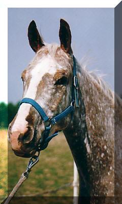 Poulain appaloosa 2009 Zip1